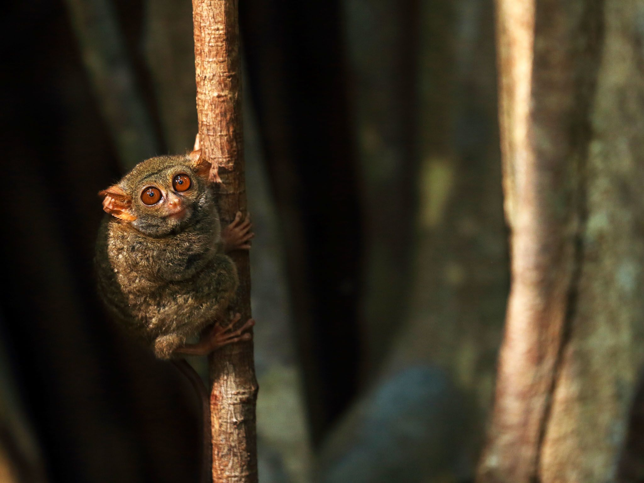 Indonesia:  Spectral Tarsier on sapling. These small primates weigh about 100 grams. This image... [Photo of the day - September 2017]