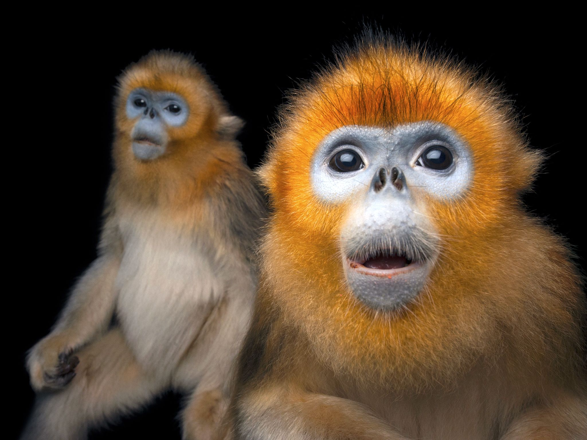 Hong Kong:  Two Golden snub-nosed monkeys, Rhinopithecus roxellana, at Ocean Park Hong Kong.... [Photo of the day - September 2017]