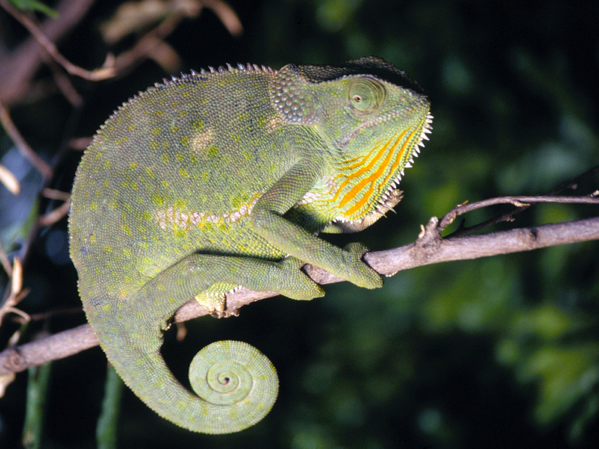 Africa:  Flap-Necked Chameleon (Chamaeleo dilepis), poised on top of a tree branch in tropical... [Photo of the day - October 2017]