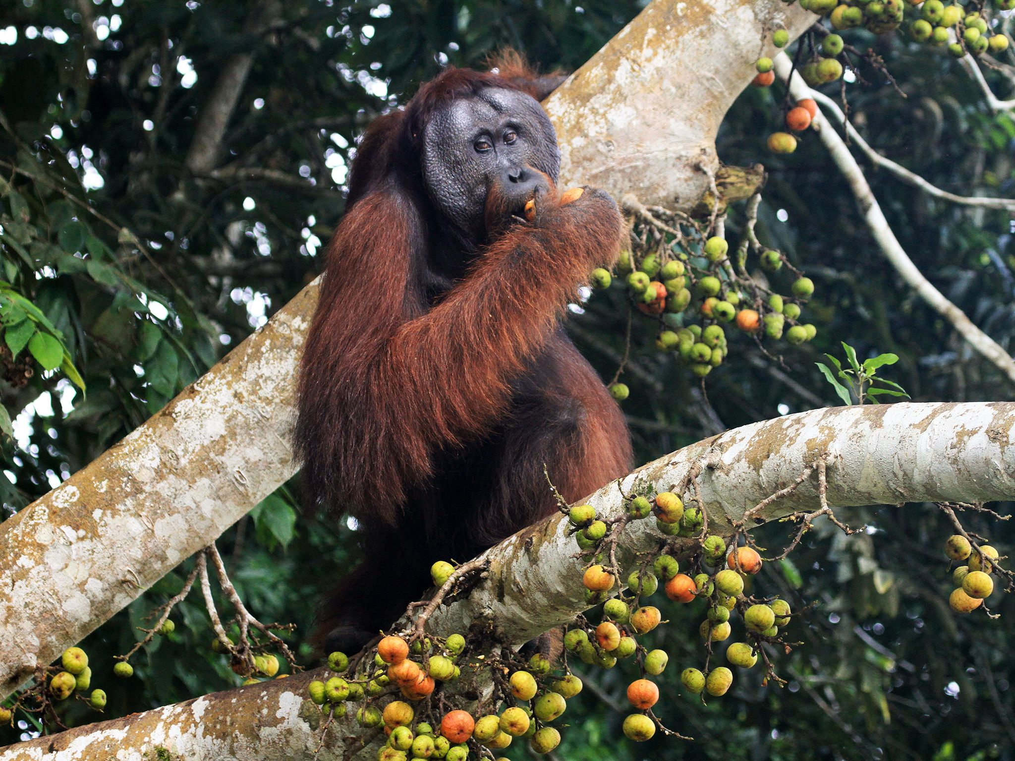Borneo:  Mature male Orangutan sitting in tree amongst fig fruits, eating figs. This image is... [Photo of the day - 十月 2017]