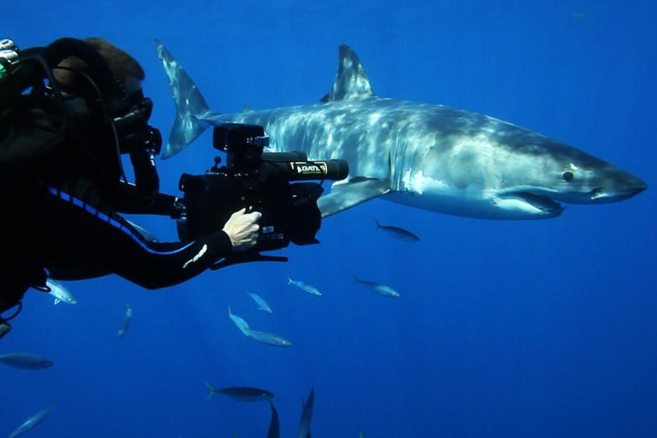 Andy Casagrande filme un grand requin blanc. Pour réussir au mieux sa séance photo, Andy a appo... [Photo du jour - mars 2012]