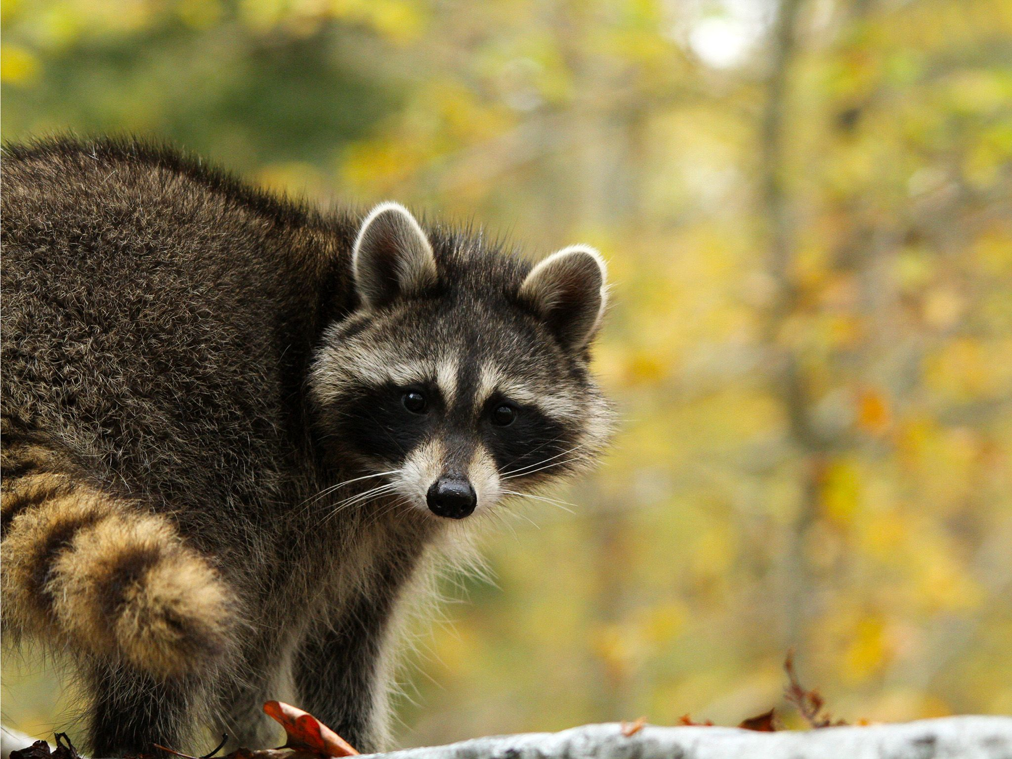Washington, D.C.:  A raccoon in autumn. This image is from Animal Outlaws. [Photo of the day - October 2017]