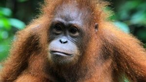 Malaysia: Orangutan head and... [Photo of the day - OCTOBER 17, 2017]