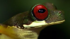 Costa Rica: A Red-eyed stream frog... [Photo of the day - 18 OCTOBER 2017]
