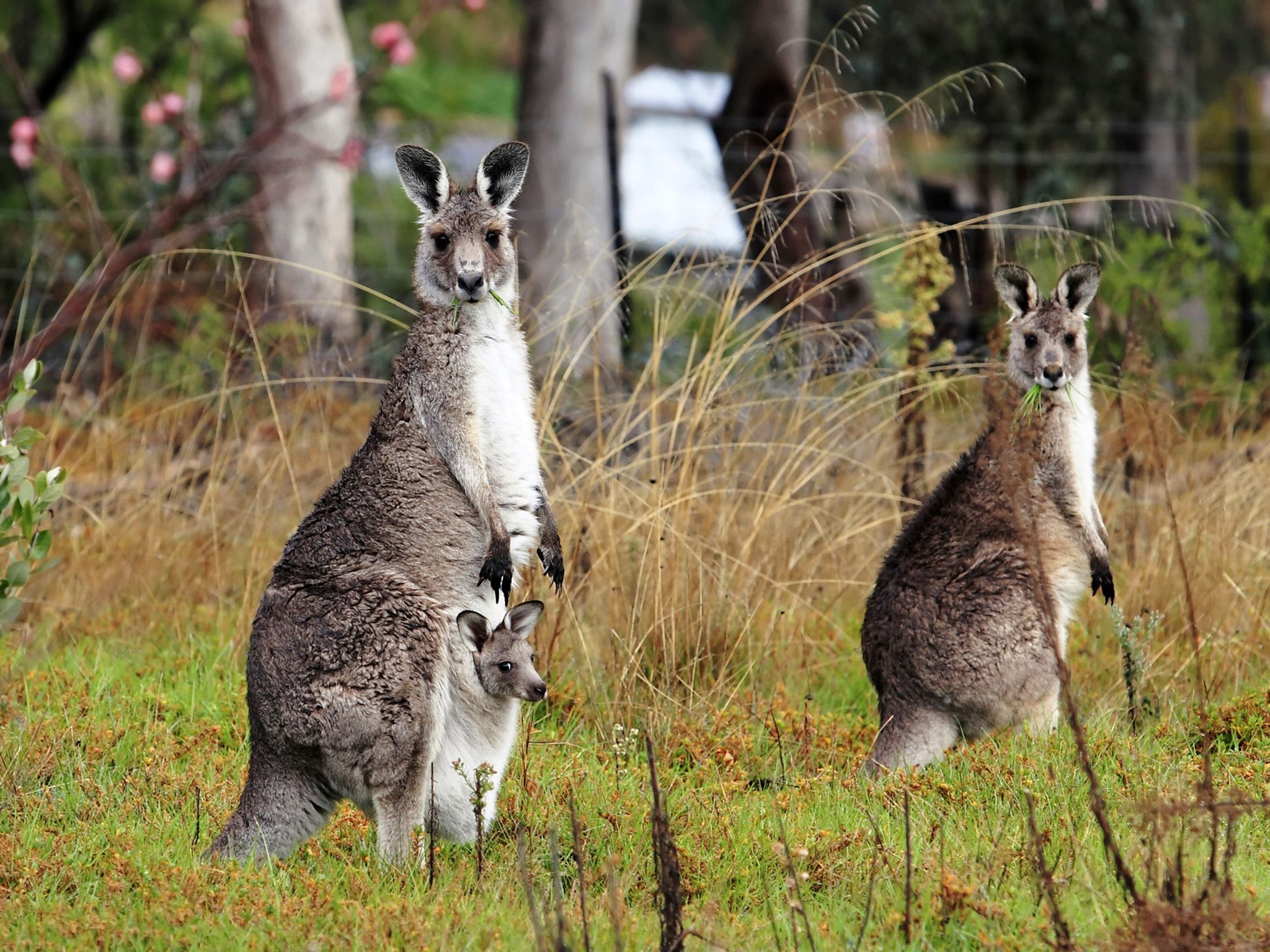 A gray kangaroo and her joey with another kangaroo in a fruit garden (peach blossoms visible)... [Photo of the day - October 2017]