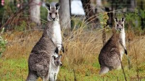 A gray kangaroo and her joey with... [Photo of the day - 24 OCTOBER 2017]
