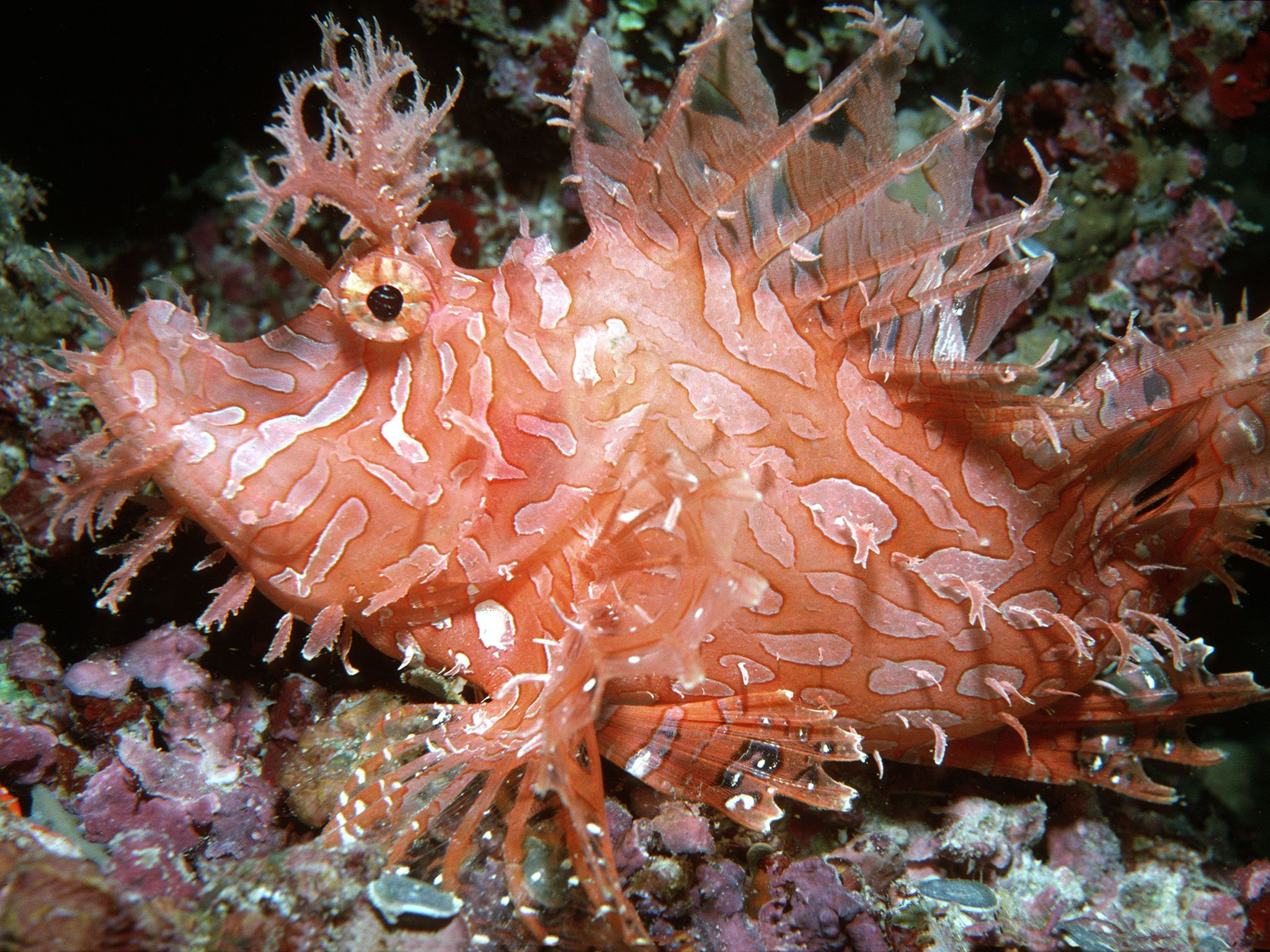 Indo-Pacific Ocean:  The Weedy scorpionfish (Rhinopias aphanes) is a peculiar looking fish with... [Photo of the day - October 2017]