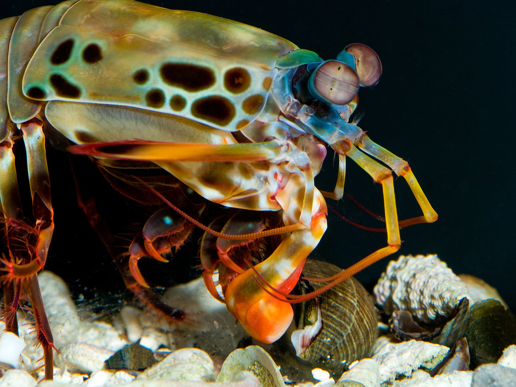 Berkeley, California: A female peacock mantis shrimp (Odontodactylus scyllarus) uses a powerful... [Photo of the day - October 2017]