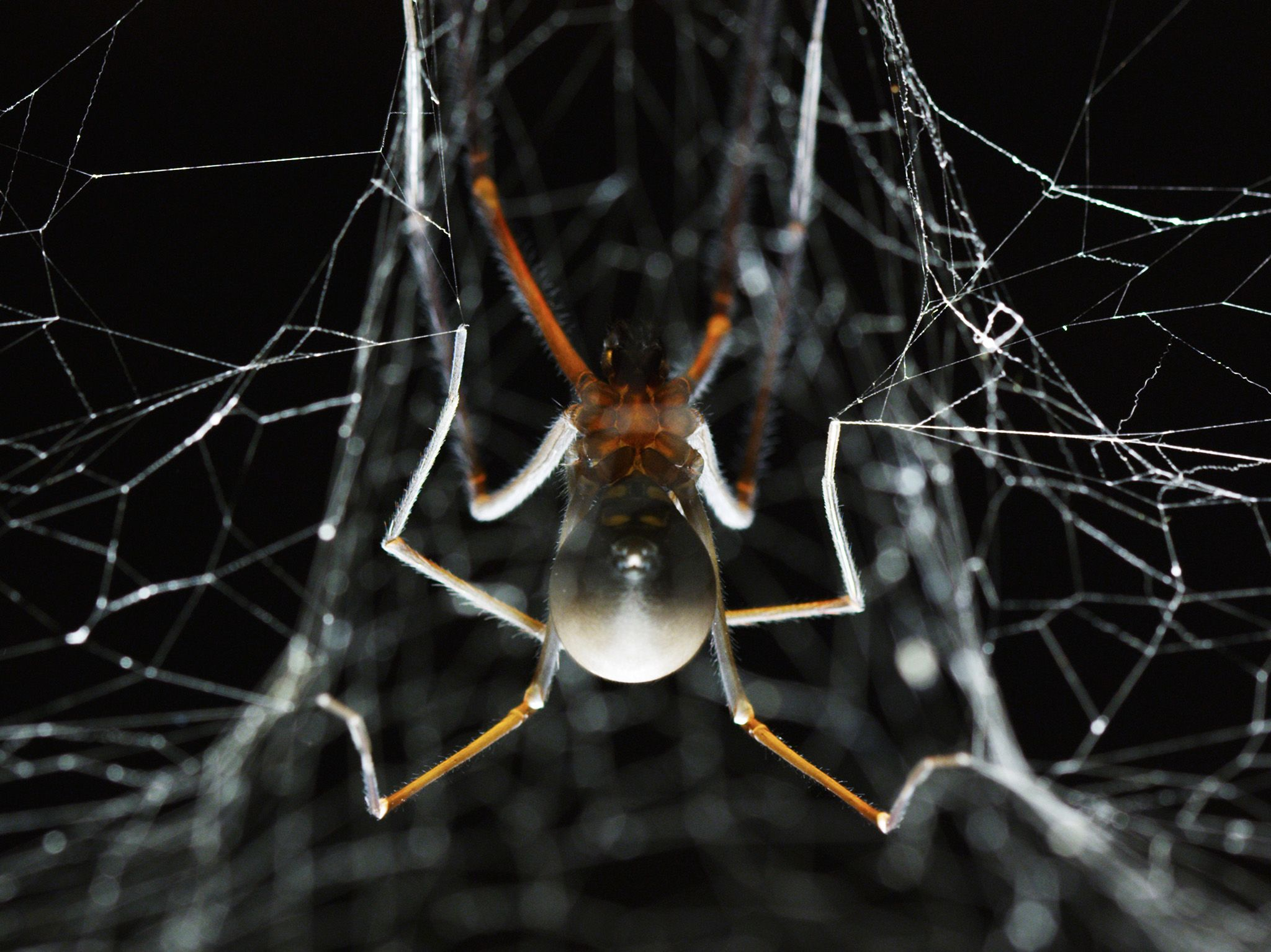 A Tasmanian Cave Spider is the largest spider in Australia's island state.  This image is from... [Photo of the day - October 2017]