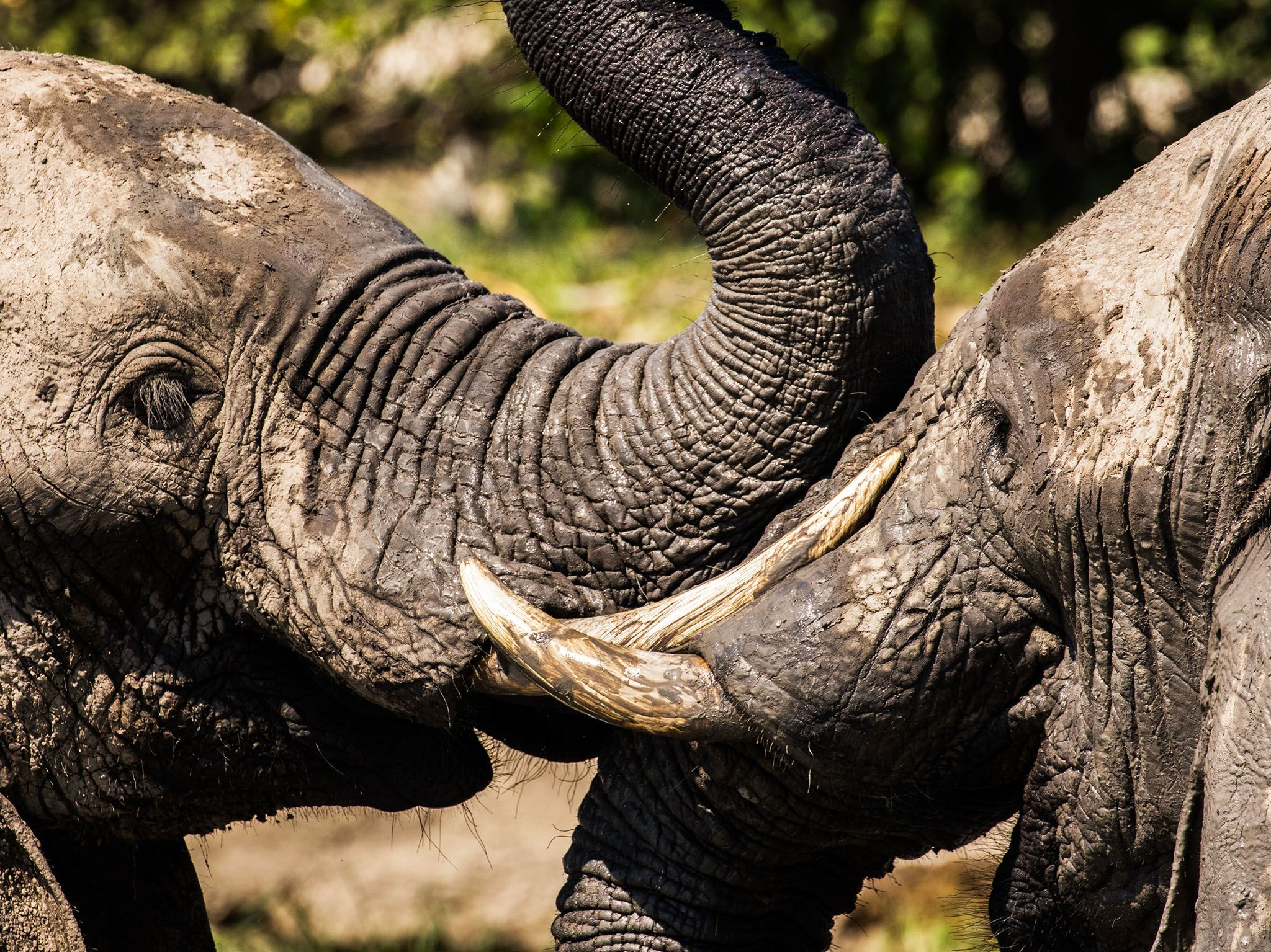 Chobe National Park, Botswana:  A close up shot of two elephants with their faces pressed up... [Photo of the day - 十一月 2017]