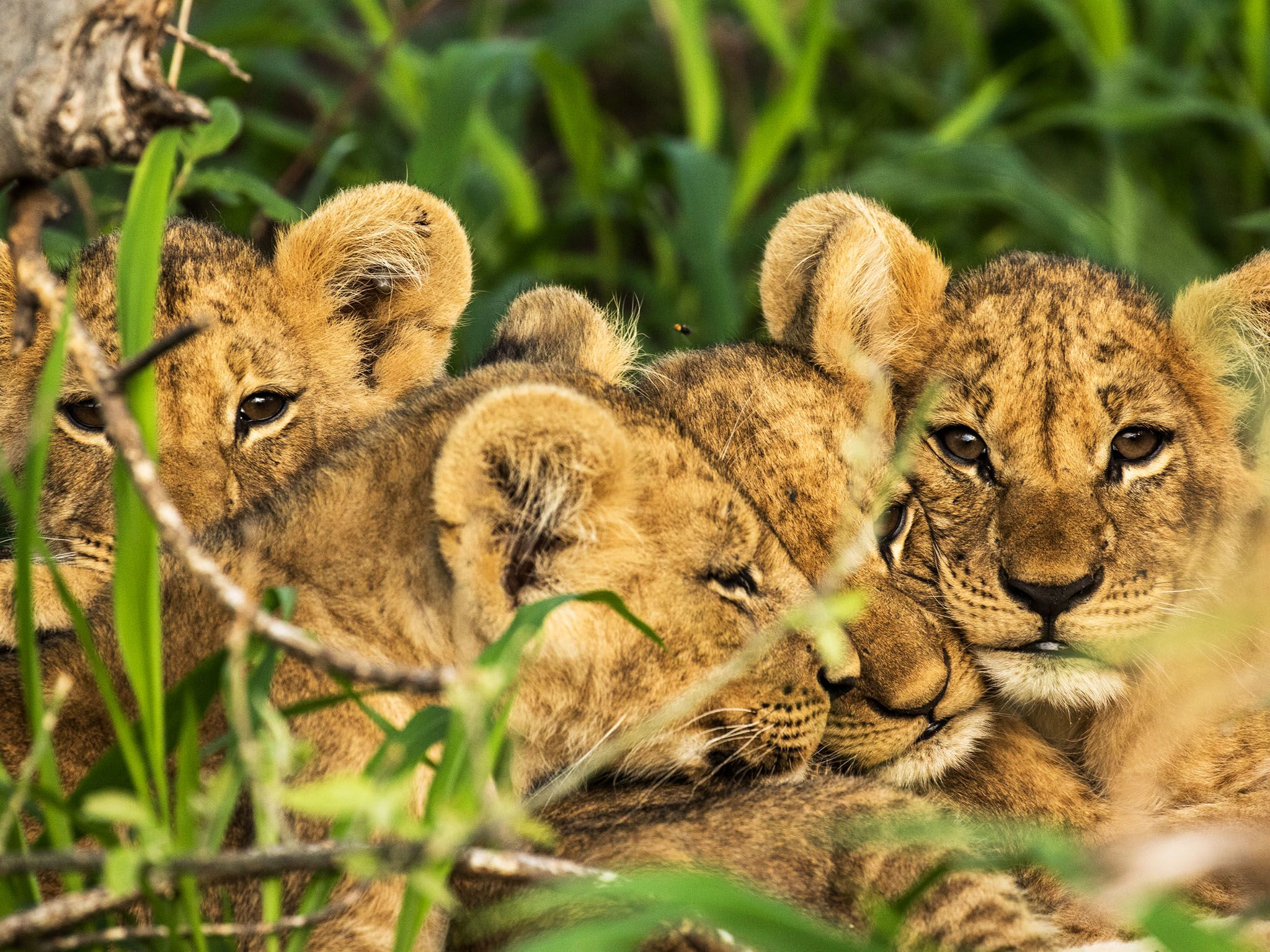 Chobe National Park, Botswana:  Matsumi's four new cubs huddle up in the long cool grass as they... [Photo of the day - November 2017]