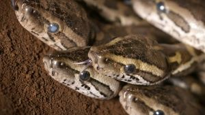 South Africa: Baby rock pythons... [Photo of the day - 16 十一月 2017]