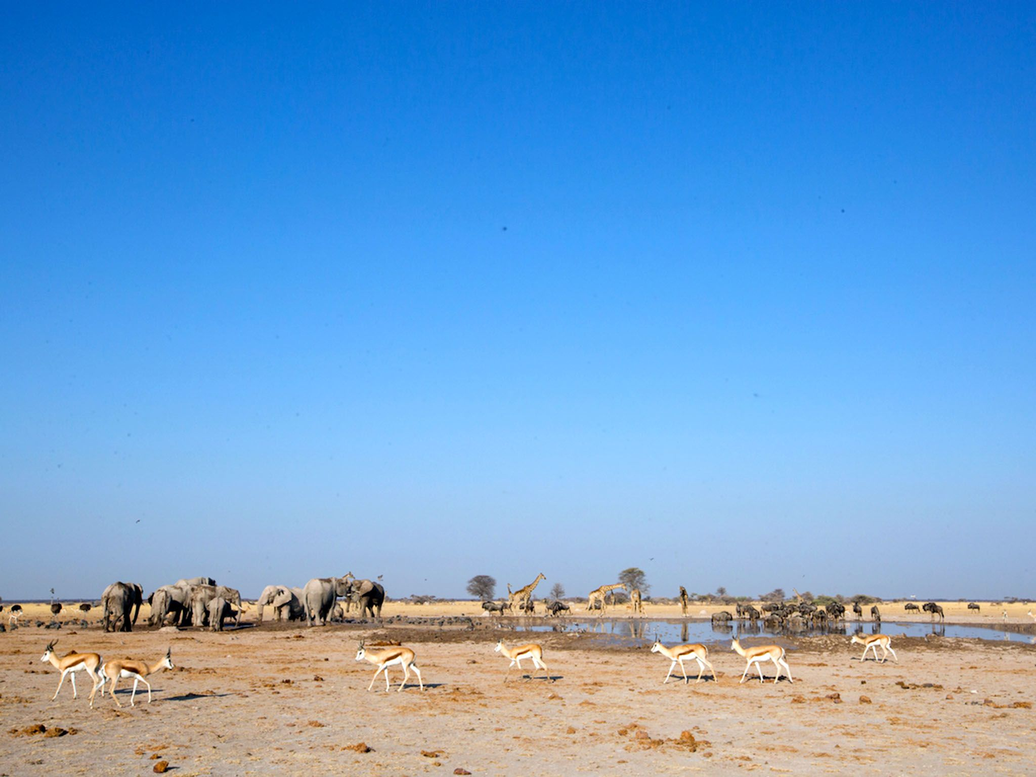 Nxai Pan, Botswana:  Shrinking waterhole surrounded by springbok  elephant herd in middle... [Photo of the day - November 2017]