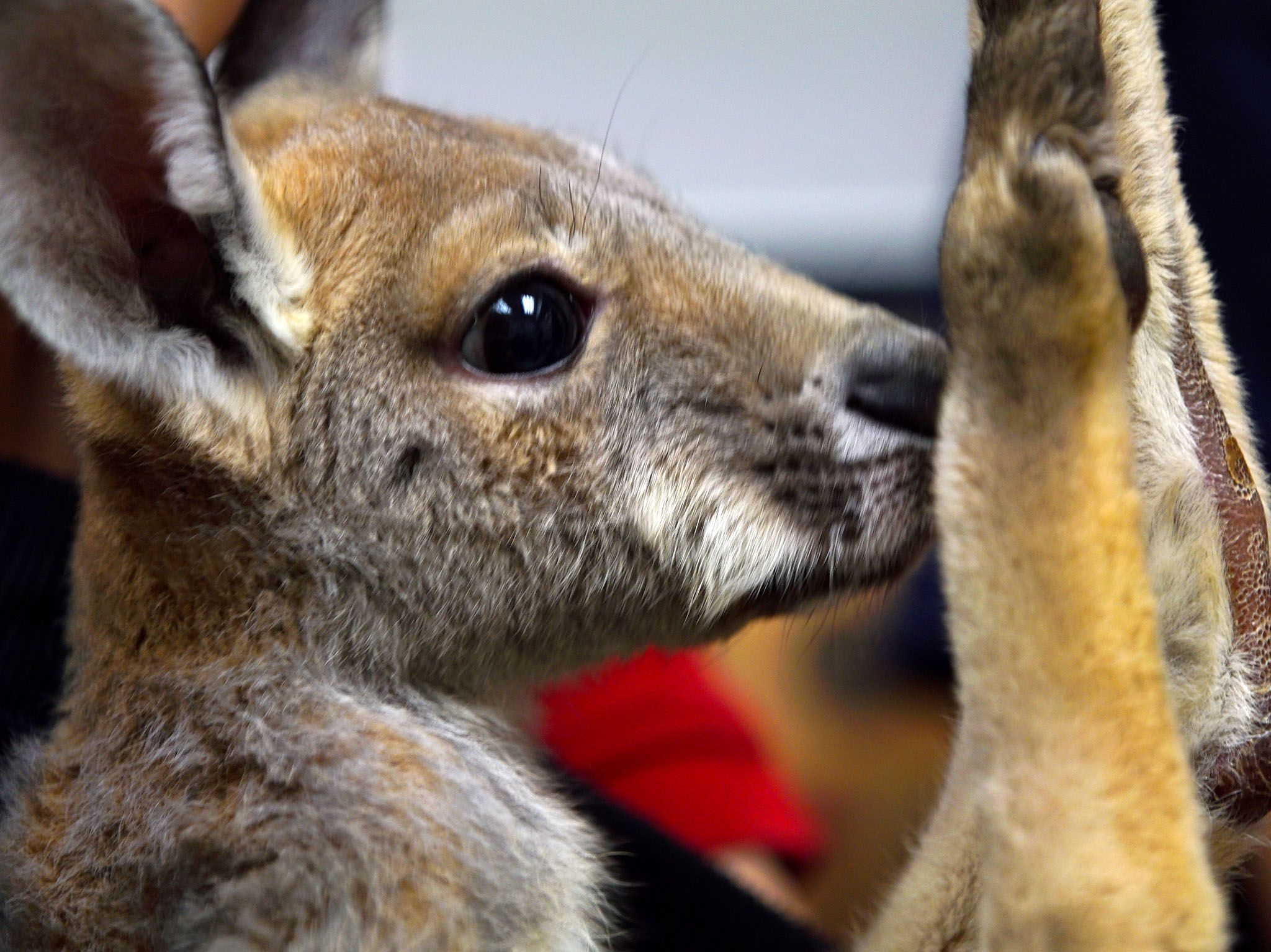 Houston, TX:  Close-up of Delilah, the baby kangaroo.  This image is from Animal ER. [Photo of the day - November 2017]