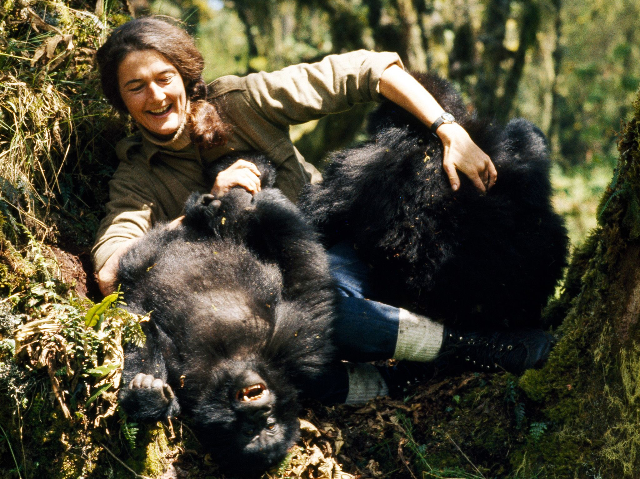 Dian Fossey plays with two young mountain gorillas in the wild. This image is from Dian Fossey:... [Photo of the day - 十二月 2017]