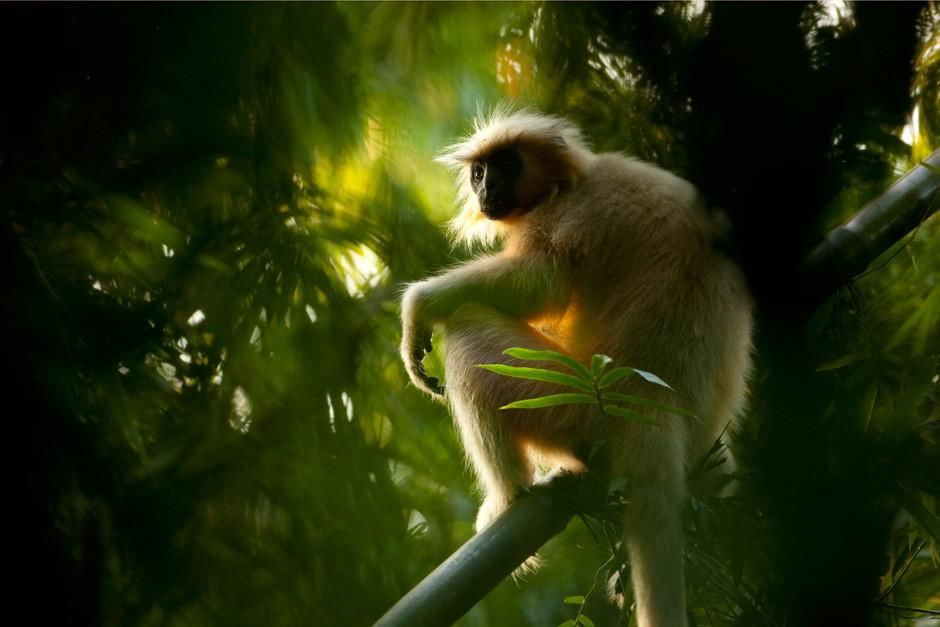 Kaziranga National Park, Assam, India: Endangered Golden Langur (Trachypithecus geei) sitting amo... [Photo of the day - March 2012]