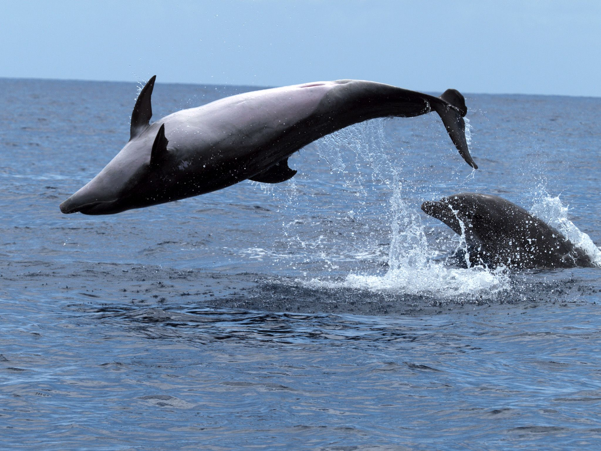 Canary Islands, Spain:  Dolphins jumping out of the water. This image is from The New Sperm Whale . [Photo of the day - December 2017]