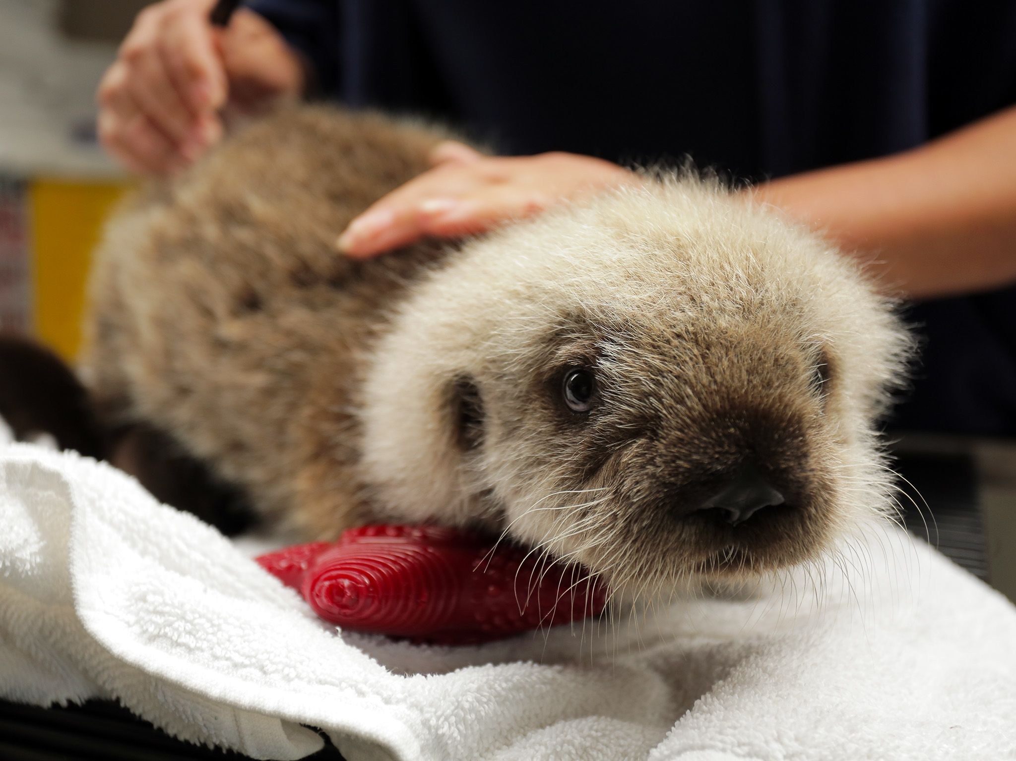 Vancouver, BC:  A baby otter receives a checkup at the Vancouver Aquarium Marine Mammal Rescue... [Photo of the day - December 2017]