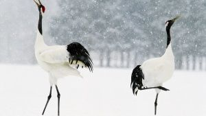 Siberia:  Red crowned cranes pair... [Photo of the day - 16 DECEMBER 2017]