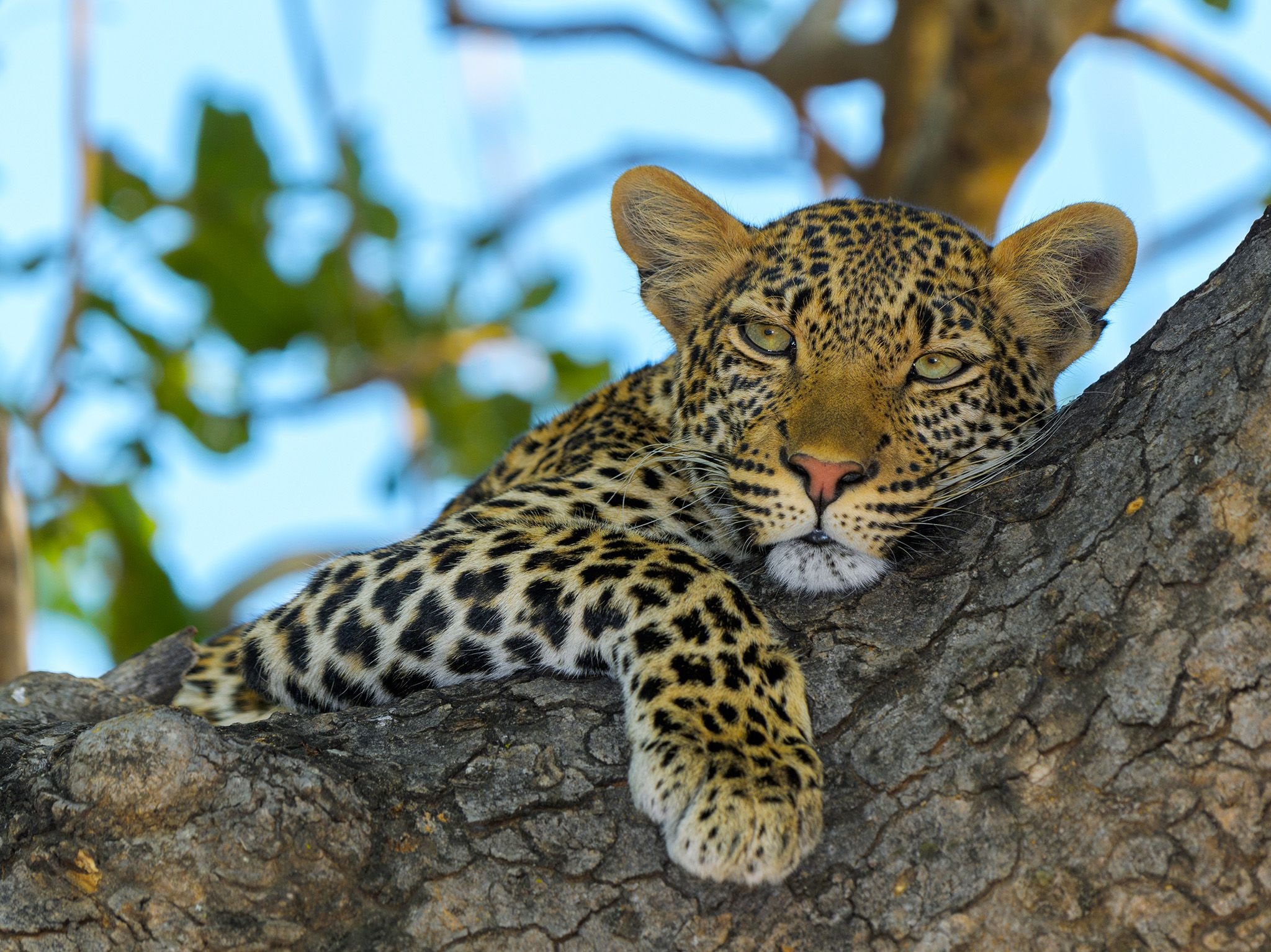 Ruaha National Park, Tanzania:  Young male leopard in tree. This image is from Lion Kingdom. [Foto del giorno - gennaio 2018]