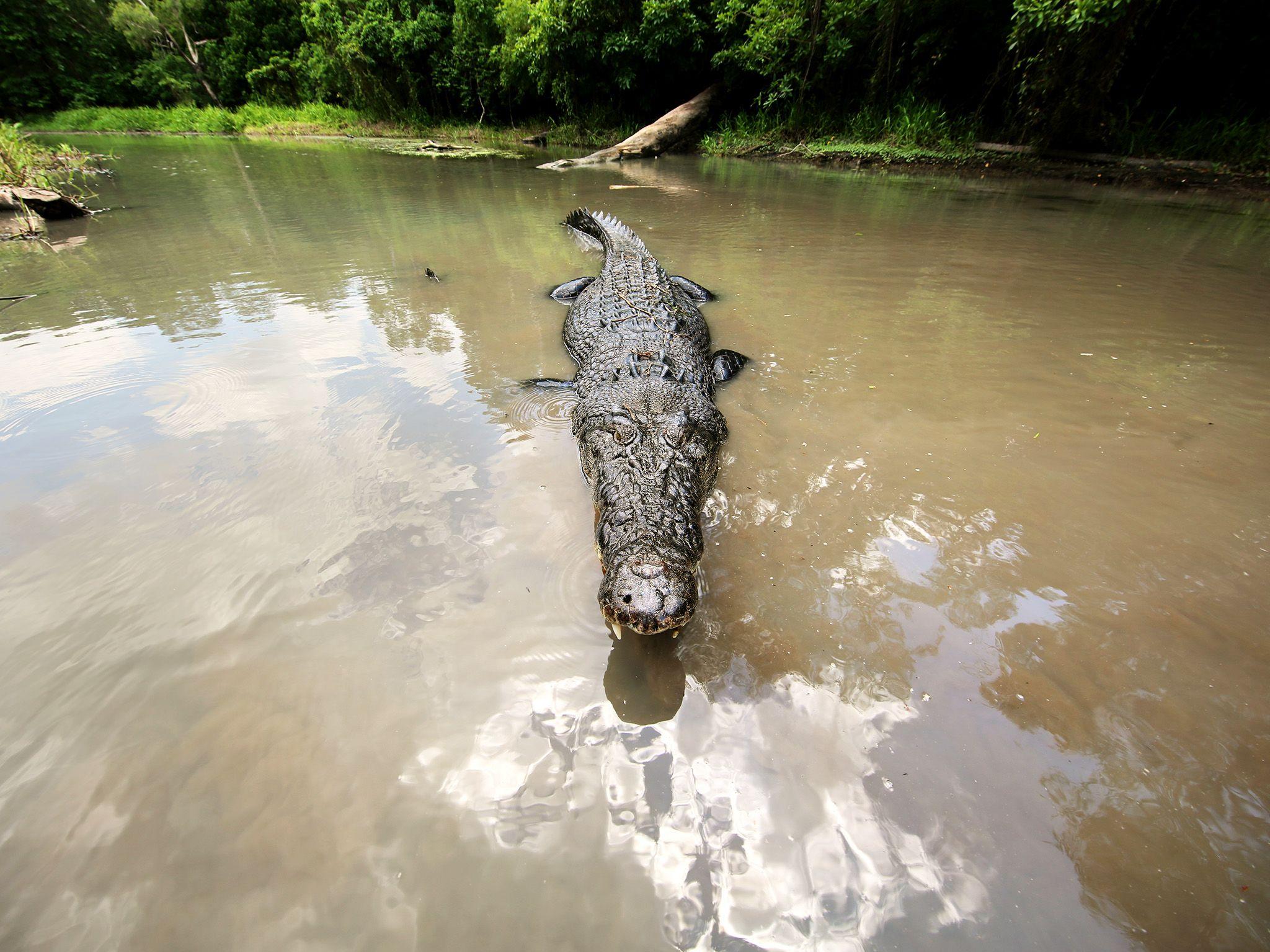 الإقليم الشمالي، أستراليا:  تمساح المياه المالحة... [Photo of the day - يناير 2018]