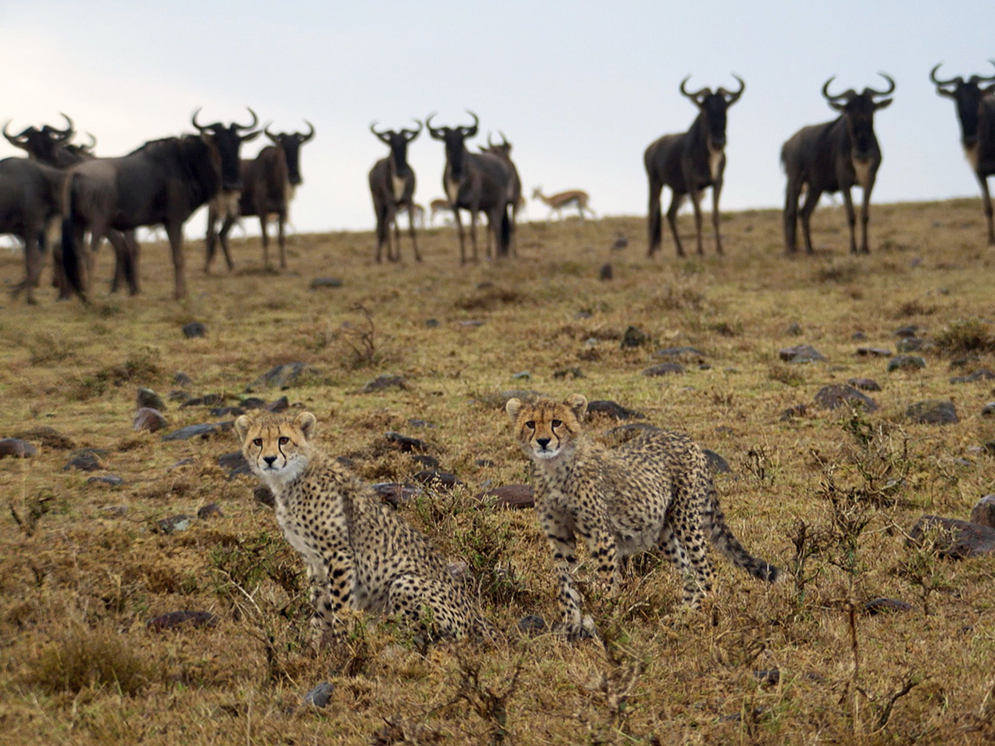 Naboisho, Kenya:  Cheetahs in foreground with wildebeest in background.  This image is from Man... [Photo of the day - 一月 2018]