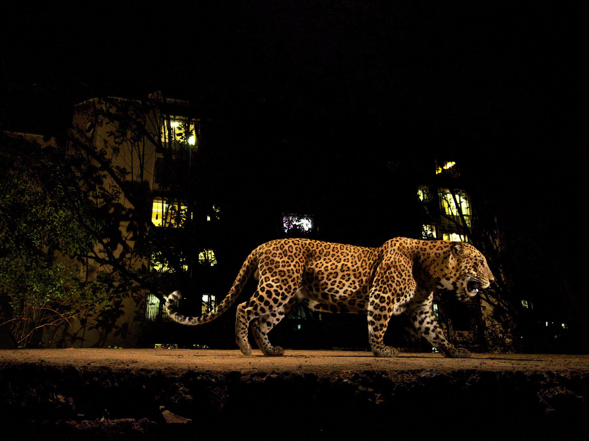 Sanjay Gandhi National Park, Mumbai, Maharashtra, India: Leopard walking on border trail of SGNP... [Photo of the day - 一月 2018]
