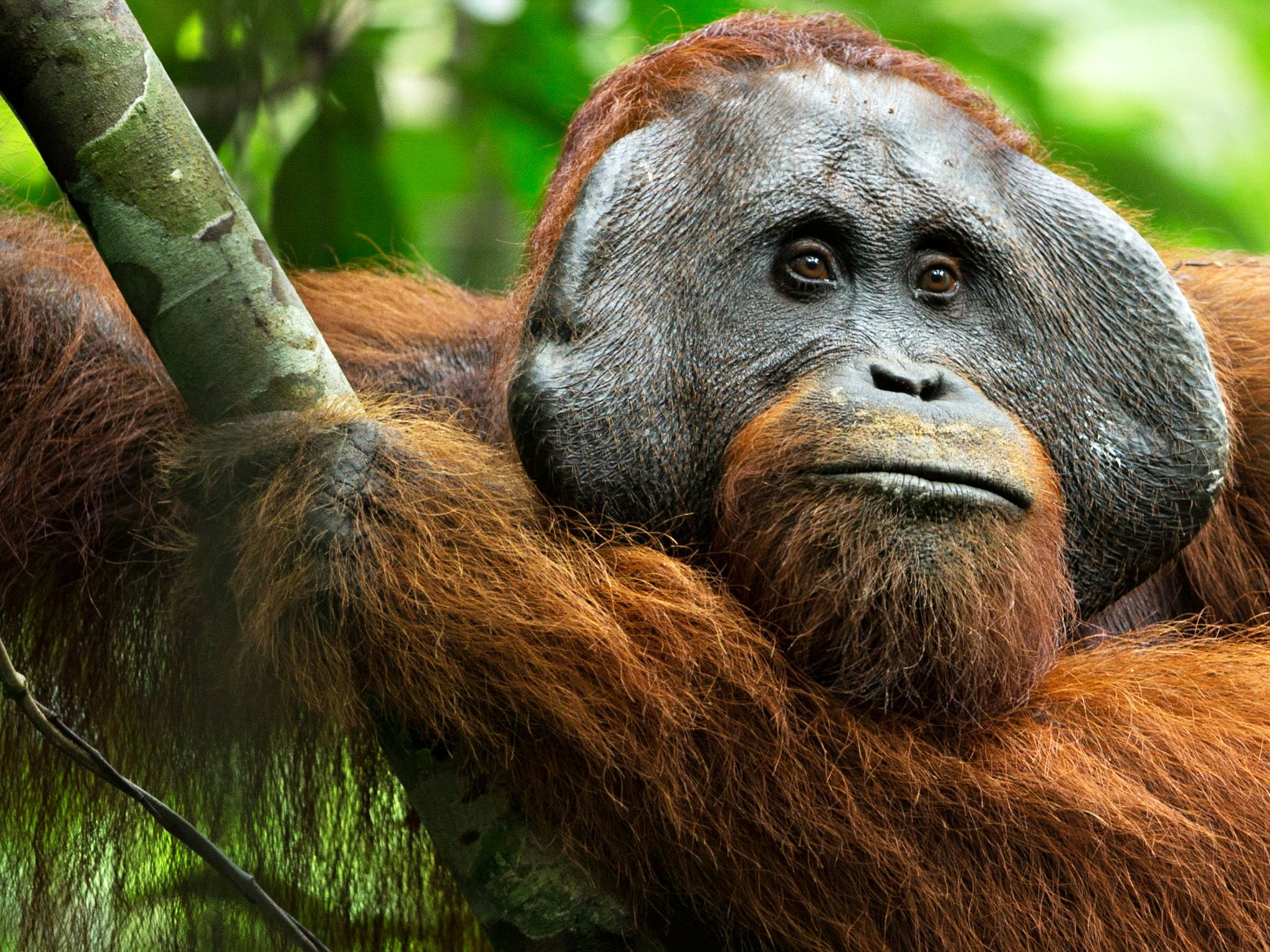 Borneo, Indonesia:  Codet, the male who is the most likely father of Walmiah's new baby.  This... [Photo of the day - 一月 2018]
