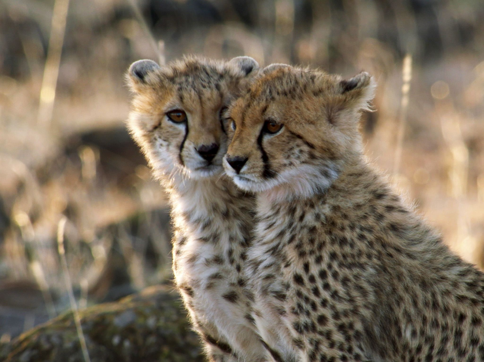 Naboisho, Kenya:  Two cheetah cubs. This image is from Man Among Cheetahs. [Photo of the day - January 2018]