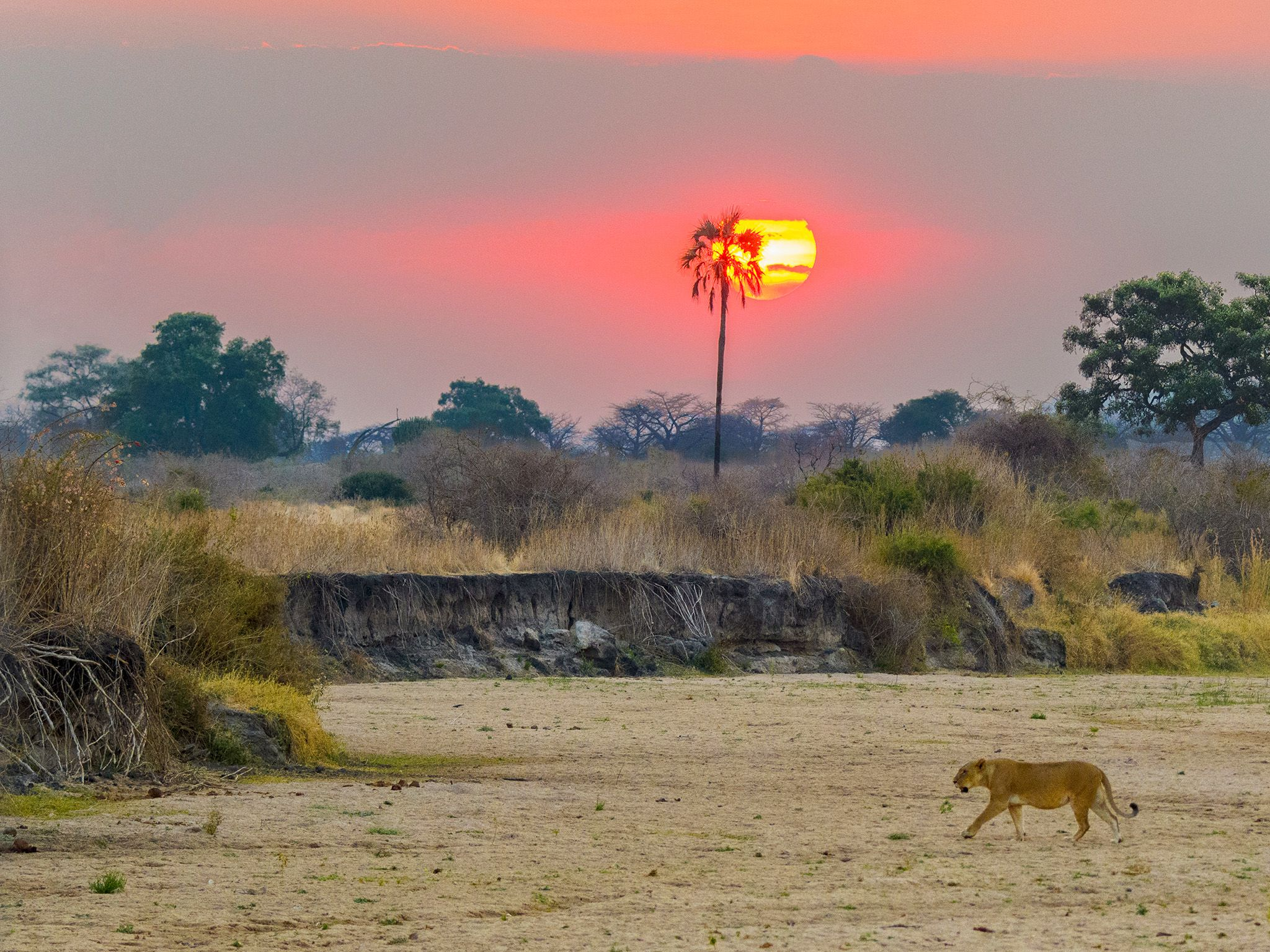 Ruaha National Park, Tanzania:  Glade lioness at sunset.  This image is from Lion Kingdom. [Photo of the day - 一月 2018]