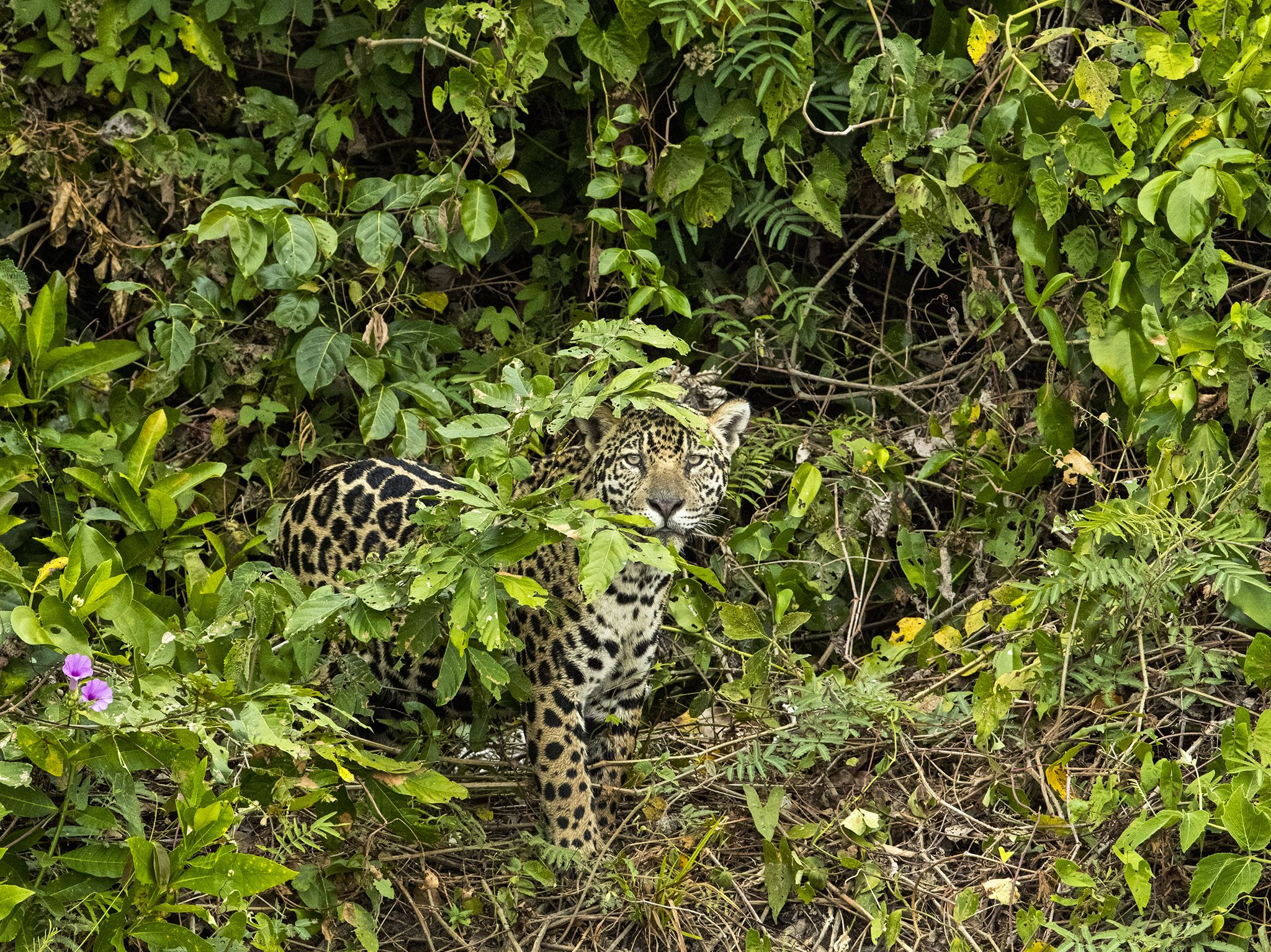 Pantanal, Brazil:  Jaguar in the bushes. This image is from Jaguar vs. Croc. [Foto del giorno - gennaio 2018]