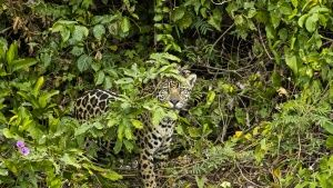Pantanal, Brazil:  Jaguar in the... [Photo of the day - 17 JANUARY 2018]