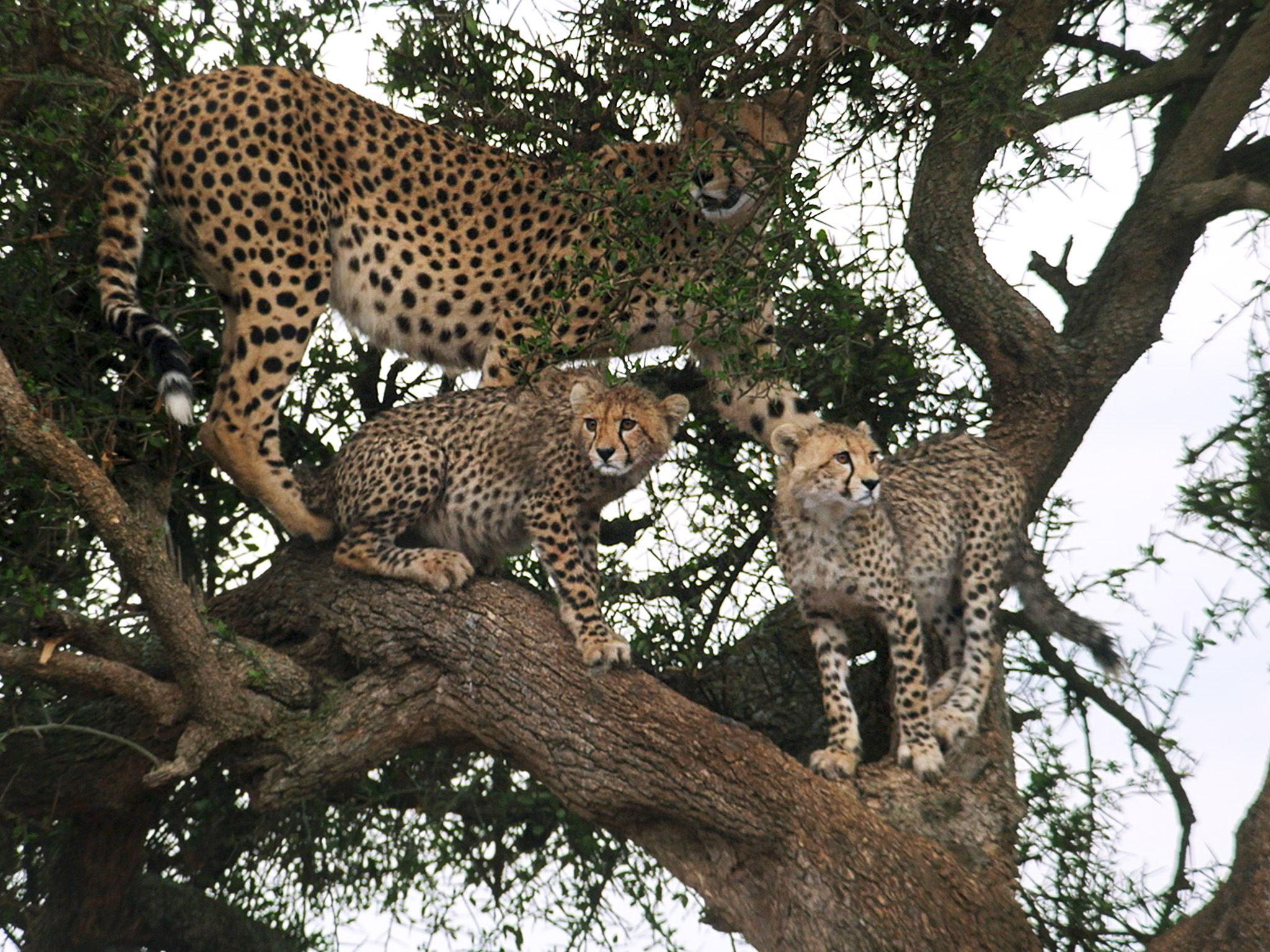 Naboisho, Kenya:  Mother cheetah and cubs wait in tree.  This image is from Man Among Cheetahs. [Foto del giorno - gennaio 2018]