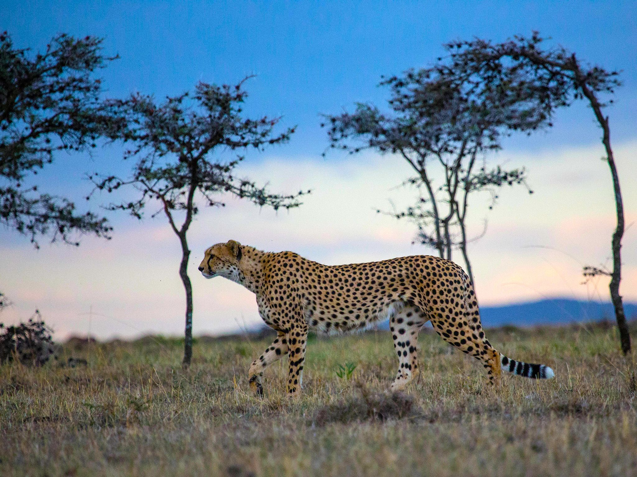 Nabosihio Conservancy, Kenya:  Naborr with sunset background.  This image is from Man Among... [Photo of the day - January 2018]