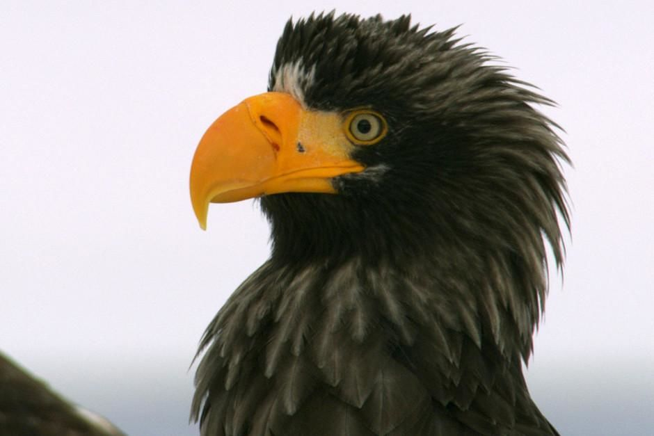 Stellar's sea eagle. This image is from Wild Russia. [Dagens foto - mars 2012]