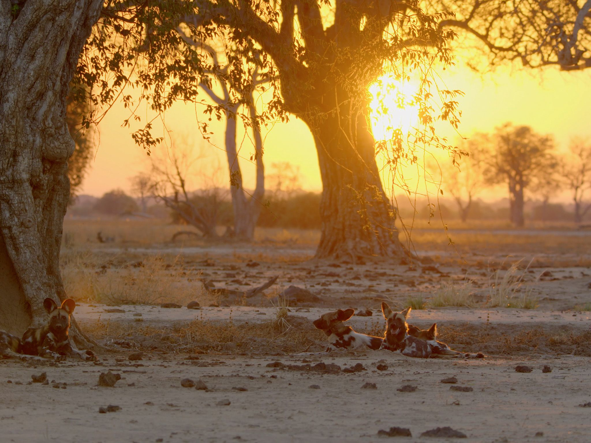 Wild dogs at sunset. This image is from Africa's Hunters. [Photo of the day - February 2018]