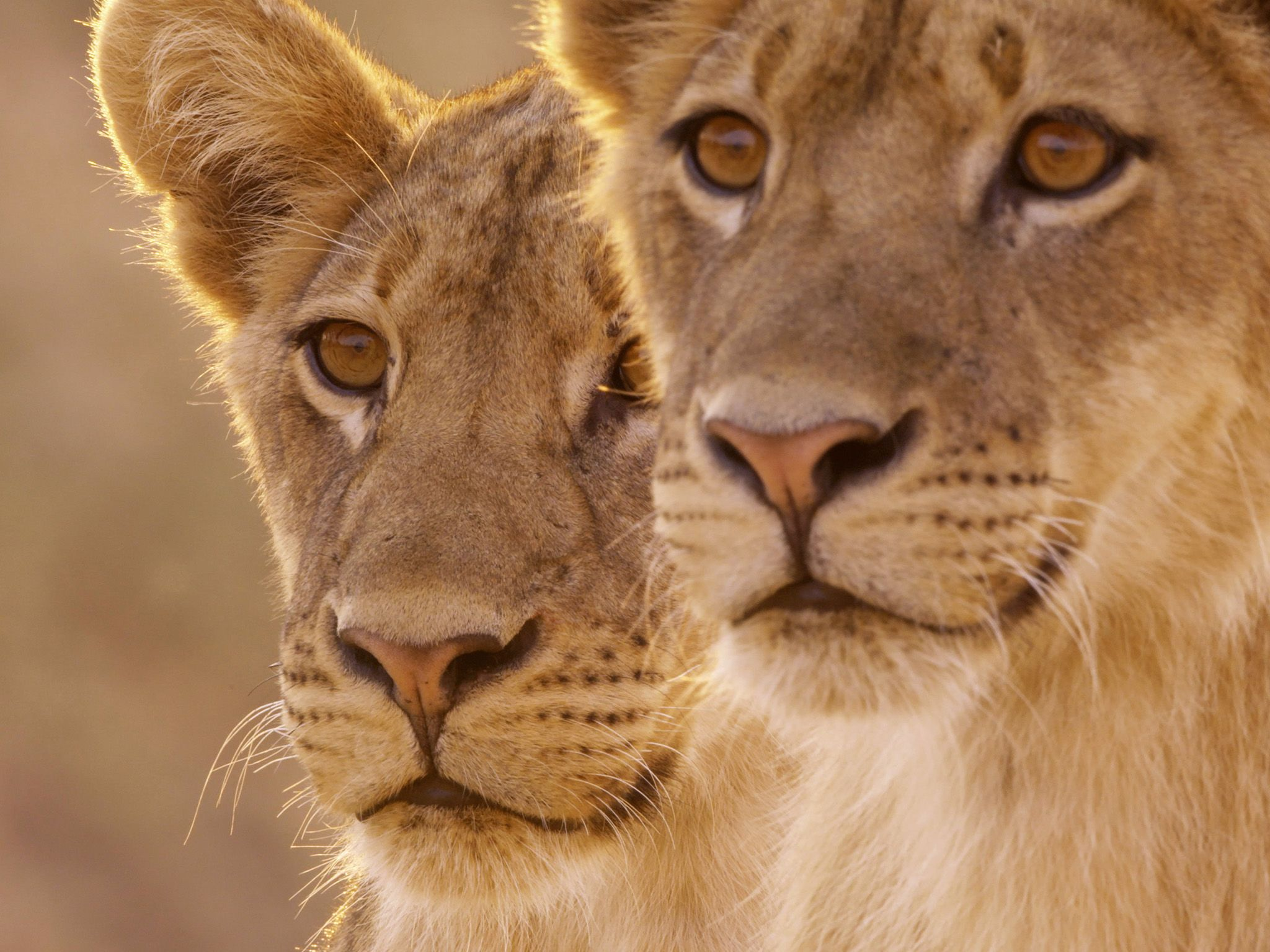 Two male lion cubs. This image is from Africa's Hunters. [Photo of the day - 二月 2018]