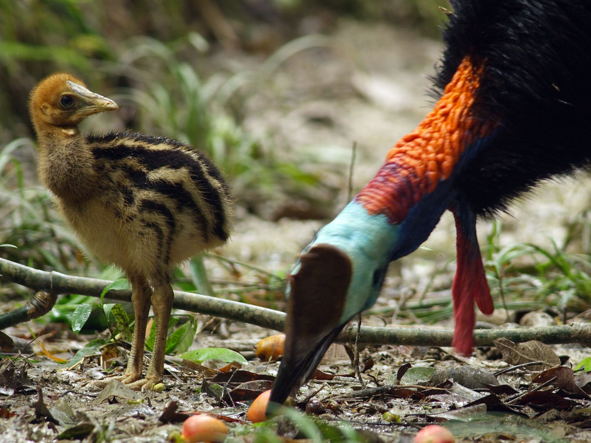 Queensland, Australia:  Cassowary chick named Wundu feeding with his dad. He follows his dad... [Photo of the day - February 2018]