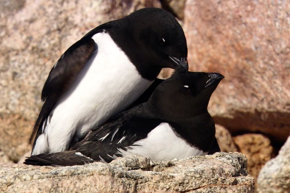 Greenland: Close-up of Little Auks (Alle alle) caring for one another on a cliffside.   This imag... [Photo of the day - March, 2012]