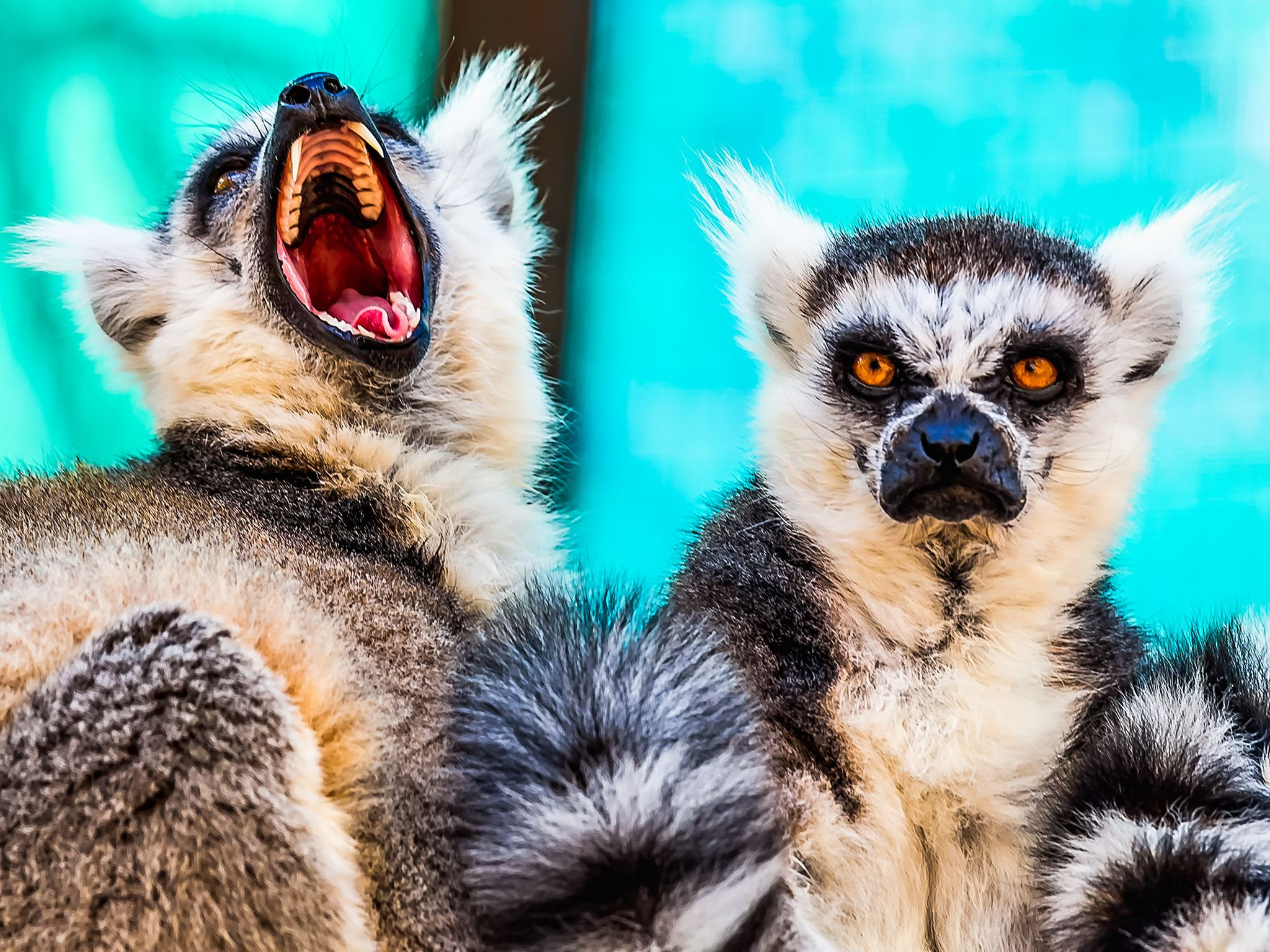 Angry lemurs:  ring tailed lemurs have recurved upper canine teeth used by both males and... [Photo of the day - February 2018]