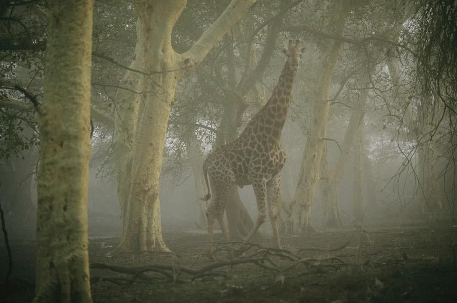 A giraffe stands in a misty forest in the Ndumu Game Reserve. South Africa. [Fotografija dneva - avgust 2011]