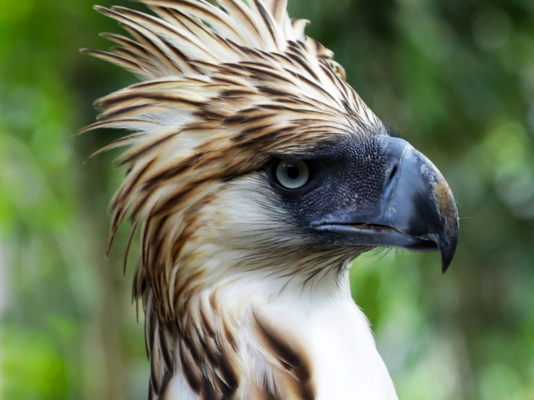 Davao City, Mindanao, Philippines:  Philippine eagle.  This image is from Untamed Philippines. [Photo of the day - March 2018]
