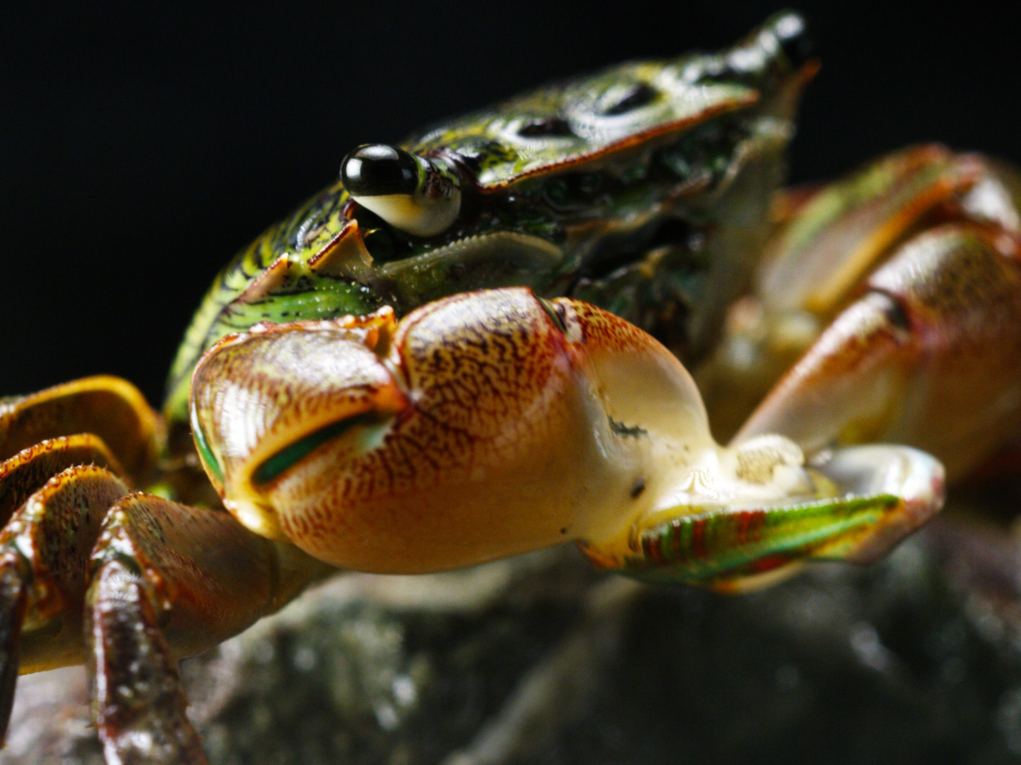 Elkhorn Slough, CA:  Lined Shore Crab devouring Abalone.  This image is from America's Wild... [Photo of the day - March 2018]