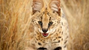 South Africa:  A serval walking... [Photo of the day - 24 三月 2018]