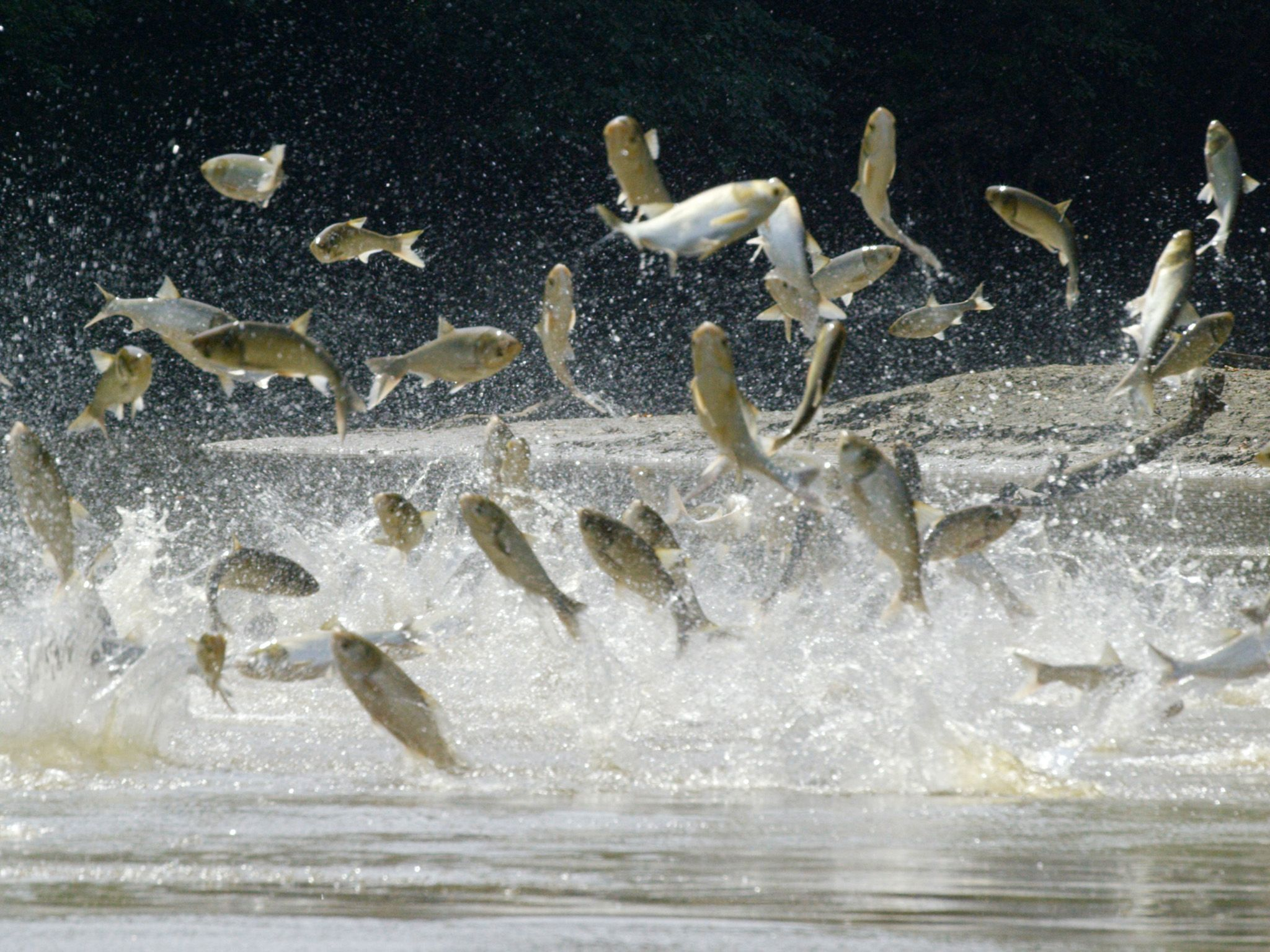 Havana, IL:  Asian Carp leaping from the Spoon River.  This image is from America's Wild Frontier. [Photo of the day - March 2018]