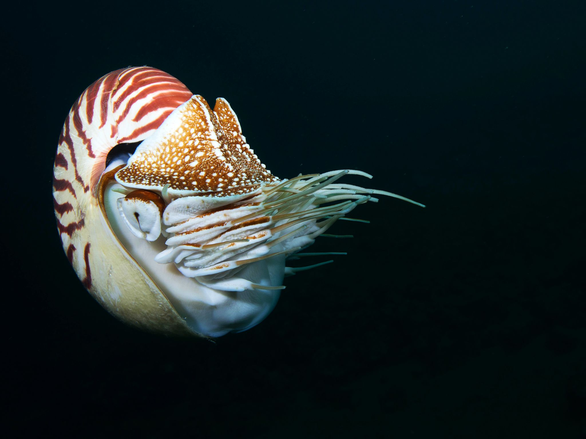Chambered nautilus. This image is from Untamed Philippines. [Photo of the day - آوریل 2018]
