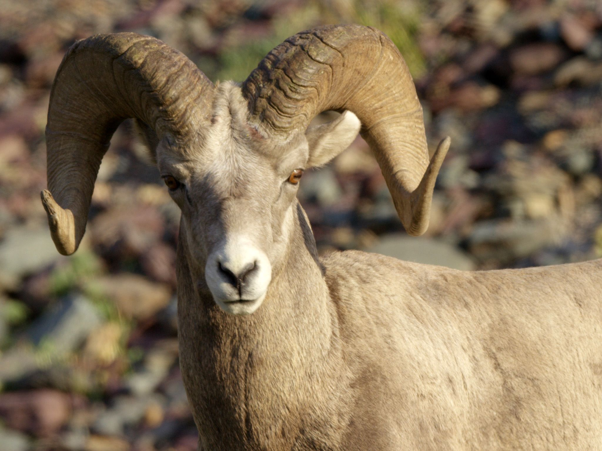 Glacier National Park, MT:  Bighorn Sheep roam the park.  This image is from America's Wild... [Photo of the day - آوریل 2018]