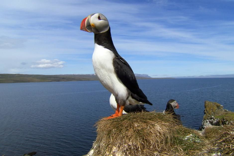 Norway: A Puffin stands perched atop of a cliff.