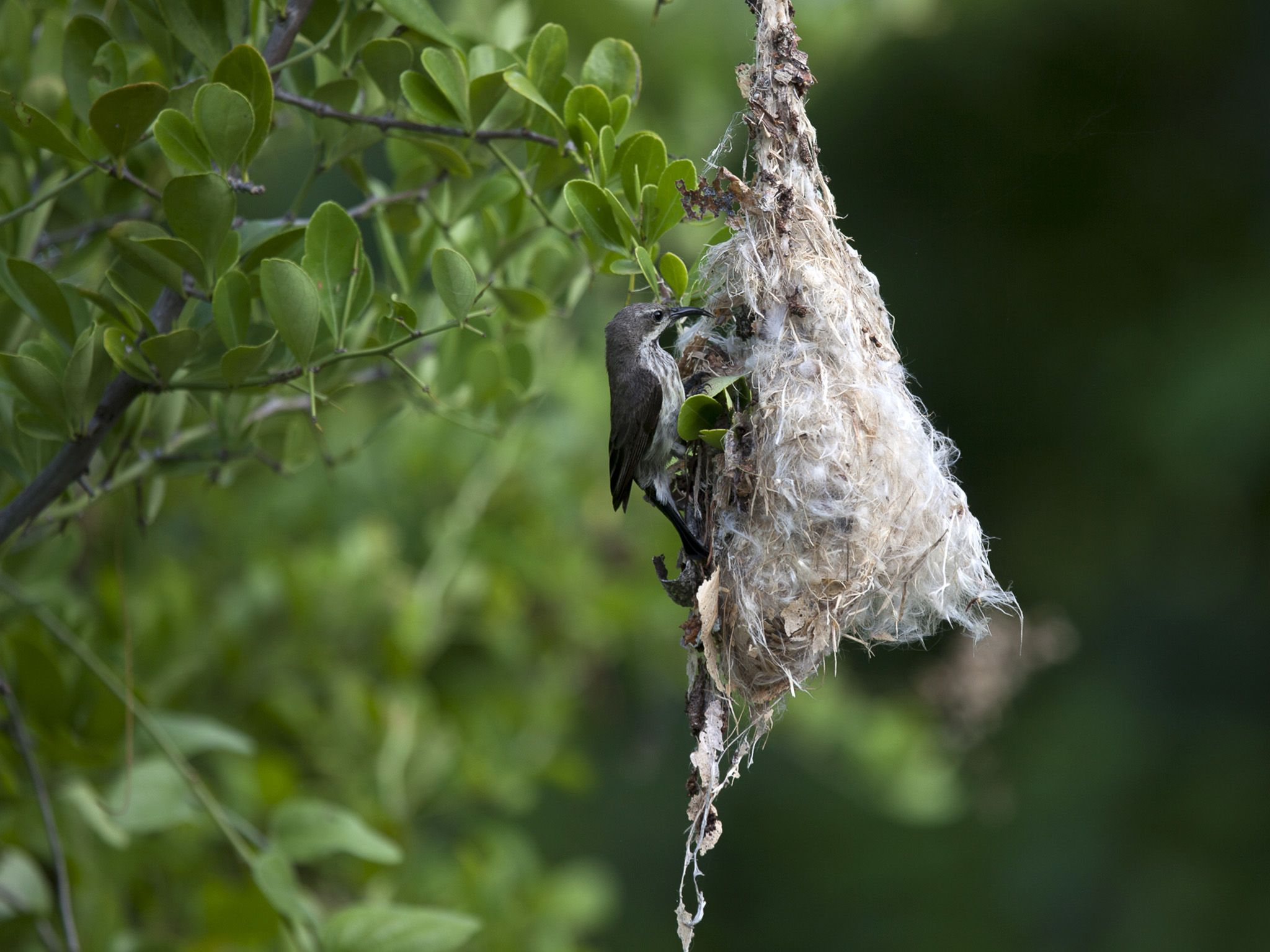 Chumbe Island, Zanzibar:  Sunbird nesting.  This image is from Jane Goodall: Saving Paradise. [Photo of the day - آوریل 2018]