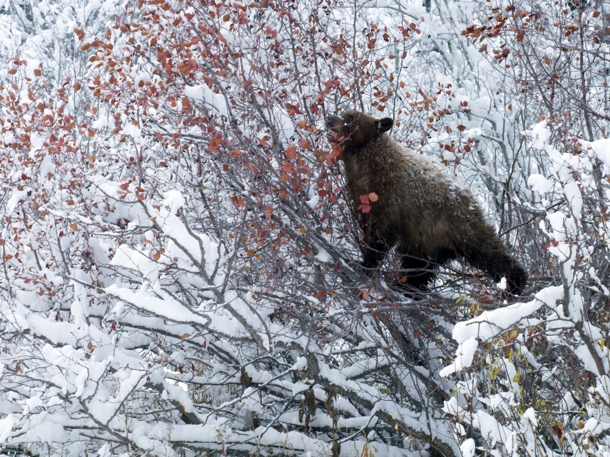 Jackson, WY:  A black bear foraging in snow covered Hawthorn tree This image is from America's... [Photo of the day - آوریل 2018]